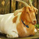 What's got your goat? by Michael Degenhardt