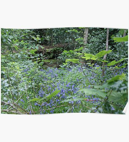 Bluebell Woods, Saltaire, Shipley, W Yorkshire, UK Poster