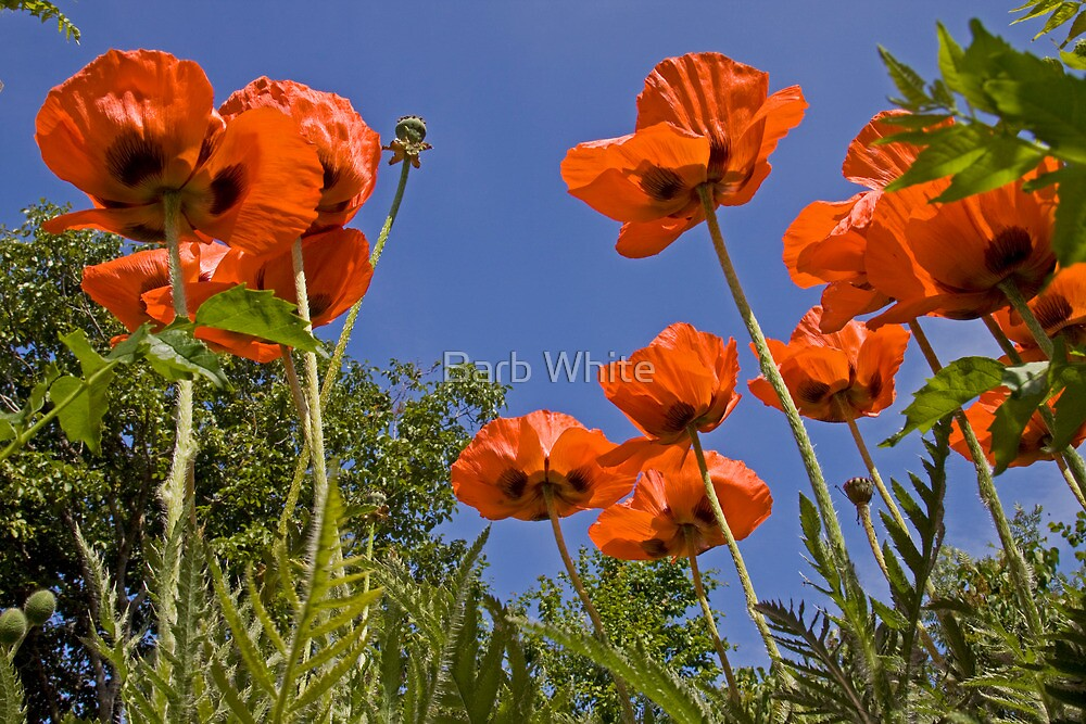 Poppies by Barb White