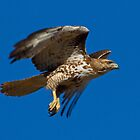 0410103 Red Tailed Hawk by Marvin Collins