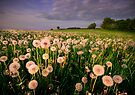 Dandelion Clocks by Angie Latham