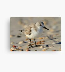 Sandpiper Portrait Canvas Print
