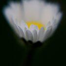 translucent daisy .... by SNAPPYDAVE