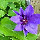 """The First Bloom On My Clematis Vine"" by franticflagwave"