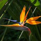 Jewel from the Jungle - a Singular Bird of Paradise by Georgia Mizuleva