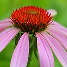 Purple Coneflower by Jimmy Ostgard