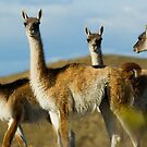 Wild guanacoes in Patagonia. by Pablo Caridad