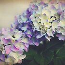 Hydrangeas by Jonicool
