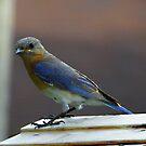 The Impatient Bluebird by Judy Wanamaker