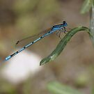 Blue Damselfly by Pirate77