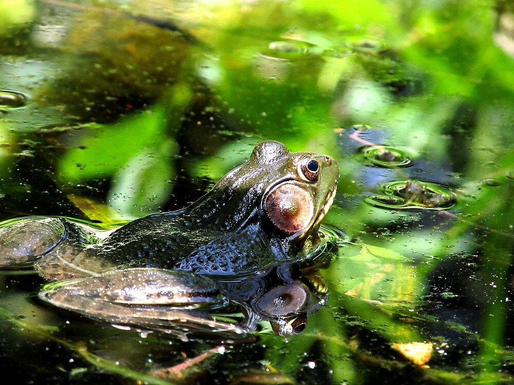 Columbus, OH: American Leopard Frog 1 by ACImaging