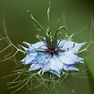 Blue Nigella Flower and Raindrops by shane22