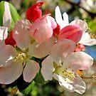 Spring Blossom by marinar