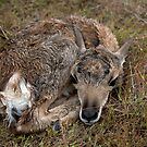 NEW ARRIVAL BABY ANTELOPE by Charlene Aycock