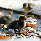 Duckling Action by Adam Jones