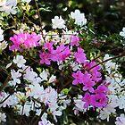 White And Pink Azaleas by Cynthia48