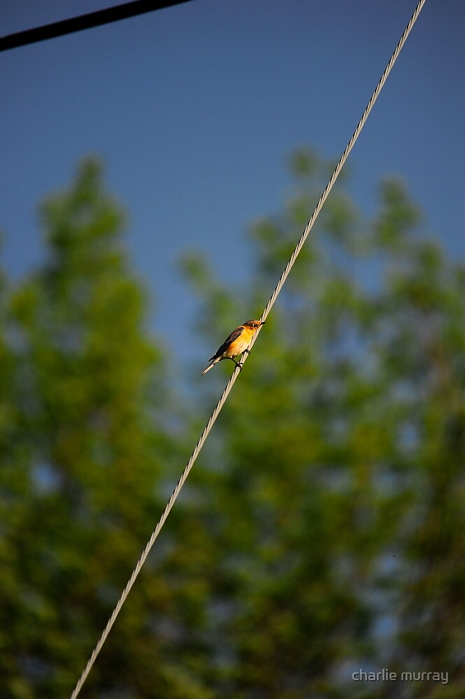 Bird on a Wire by charlie murray