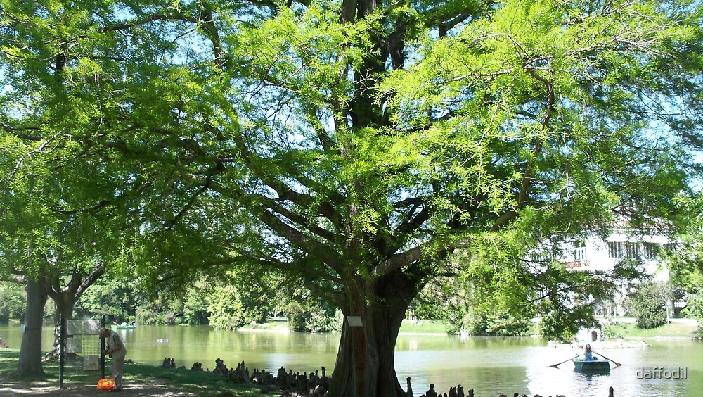 Cypress of Louisiana in Borely Park by daffodil
