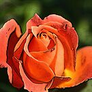Rosy Delight by Chappy
