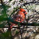 Spring Cardinal by GraceNotes