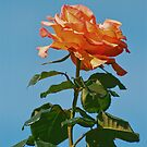 Rose of the Sky by Nancy Stafford