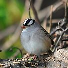 White-crowned Sparrow by Nancy Barrett