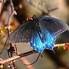 Pipevine Swallowtail by Nancy Barrett