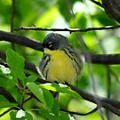 Kirtland's Warbler by Nancy Barrett