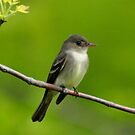 Willow Flycatcher by Nancy Barrett