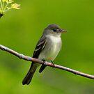 Willow Flycatcher by Nancy Barrett