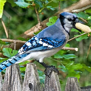 groucho the bluejay by emtee656