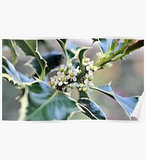 Holly in Flower Poster
