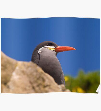Coast: Inca Tern Poster