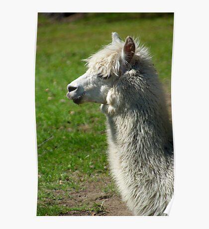 Alpaca #1 Poster