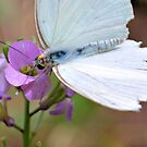 Cabbage White On Purple by Dawne Dunton