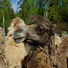 Camel #1 by MarianaEwa