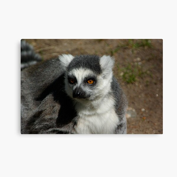 Ring-tailed Lemur #1 Canvas Print