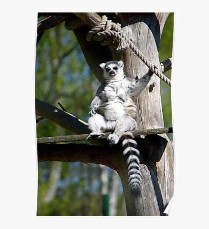 Ring-tailed Lemur #2 Poster