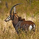 Sable Antelope (Hippotragus niger) by Konstantinos Arvanitopoulos