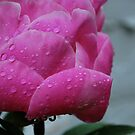 Pink peony tears!  by Jeff stroud