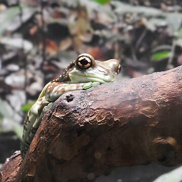 Amazon Milk Frog by martina