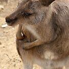 Australian Kangaroo by Meaghan Roberts