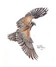 Brown Falcon by Meaghan Roberts