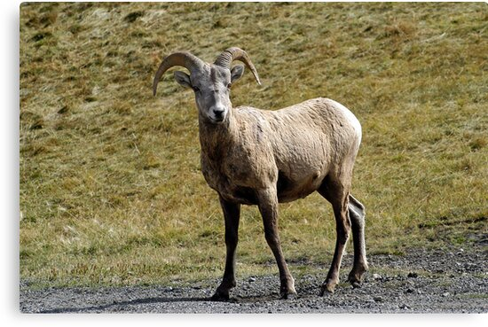 Young Ram  by paolo1955