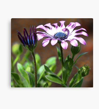 Lilac Spoon - Soprano (Osteospurmum) Canvas Print
