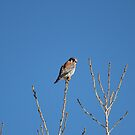 American Kestrel Falcon by Sandy Shiner-Swanson