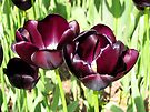 Deep Purple Tulips by Carol Bleasdale