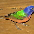 Male Painted Bunting by Dennis Jones - CameraView