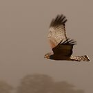 Spotted Harrier by Deborah Jones