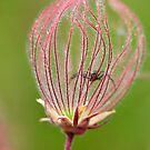 Prairie Smoke and Spider by Nancy Barrett